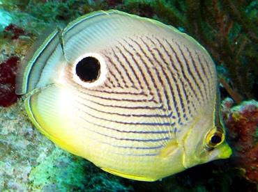 Foureye Butterflyfish - Chaetodon capistratus - St Thomas, USVI