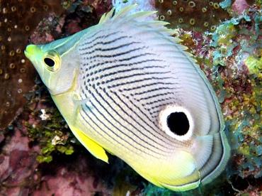 Foureye Butterflyfish - Chaetodon capistratus - Grand Cayman