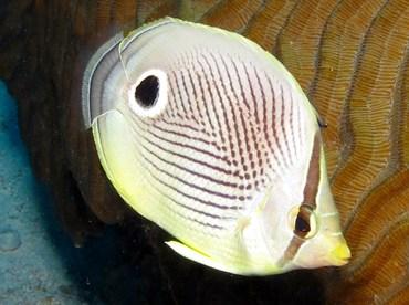 Foureye Butterflyfish - Chaetodon capistratus - Bonaire