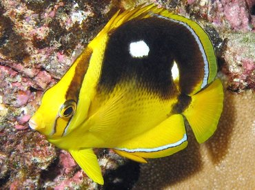 Fourspot Butterflyfish - Chaetodon quadrimaculatus - Kona Coast, Hawaii