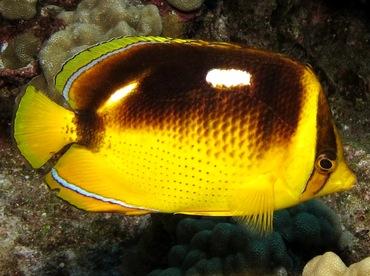 Fourspot Butterflyfish - Chaetodon quadrimaculatus - Lanai, Hawaii
