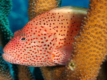 Freckled Hawkfish - Paracirrhites forsteri - Big Island, Hawaii