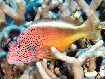 Freckled Hawkfish - Paracirrhites forsteri - Great Barrier Reef, Australia