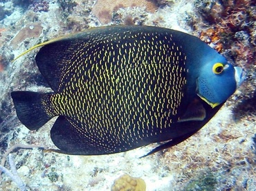 French Angelfish - Pomacanthus paru - Cat Cays, Bahamas
