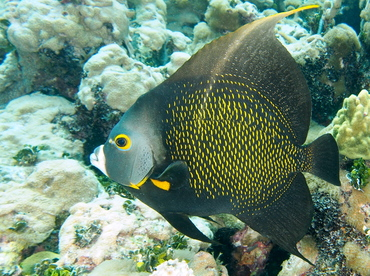 French Angelfish - Pomacanthus paru - The Exumas, Bahamas