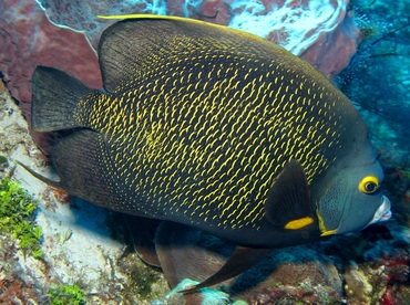 French Angelfish - Pomacanthus paru - Cozumel, Mexico