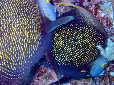 French Angelfish - Pomacanthus paru - Little Cayman