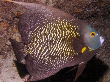 French Angelfish - Pomacanthus paru - Bonaire