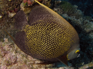 French Angelfish - Pomacanthus paru - Belize