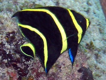French Angelfish - Pomacanthus paru - Grand Cayman