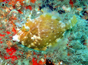 Fringed Filefish - Monacanthus ciliatus - Blue Heron Bridge, Florida
