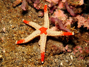 Peppermint Sea Star - Fromia monilis - Lembeh Strait, Indonesia