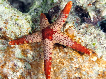 Peppermint Sea Star - Fromia monilis - Great Barrier Reef, Australia