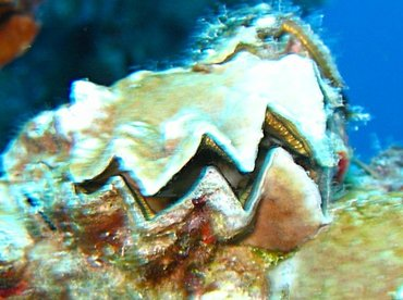 Frond Oyster - Dendostrea frons - Key Largo, Florida