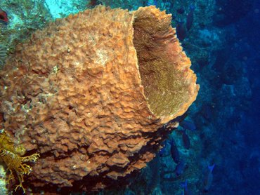 Giant Barrel Sponge - Xestospongia muta - Turks and Caicos