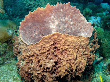 Giant Barrel Sponge - Xestospongia muta - Belize