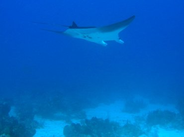 Giant Manta Ray - Manta birostris - Turks and Caicos