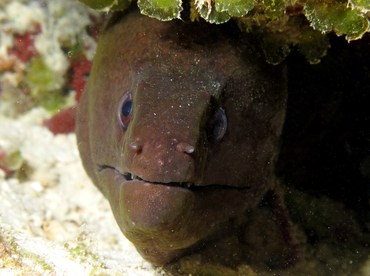 Giant Moray Eel - Gymnothorax javanicus - Palau