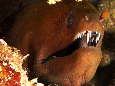 Giant Moray Eel - Gymnothorax javanicus - Fiji