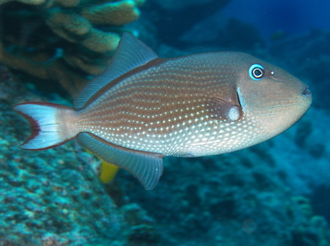 Gilded Triggerfish - Xanthichthys auromarginatus - Big Island, Hawaii