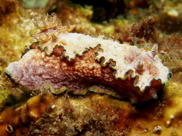 Girdled Glossodoris - Glossodoris cincta - Lembeh Strait, Indonesia