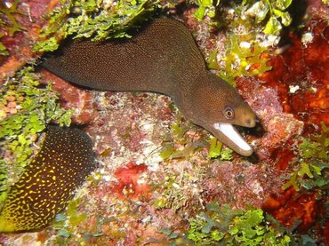 Goldentail Moray Eel - Gymnothorax miliaris - Key Largo, Florida