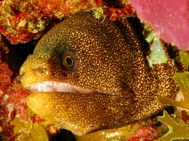 Goldentail Moray Eel - Gymnothorax miliaris - St Thomas, USVI