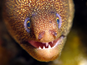 Goldentail Moray Eel - Gymnothorax miliaris - Cozumel, Mexico