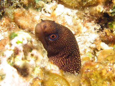 Goldentail Moray Eel - Gymnothorax miliaris - Roatan, Honduras