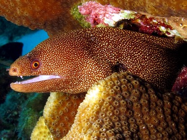 Goldentail Moray Eel - Gymnothorax miliaris - Bonaire