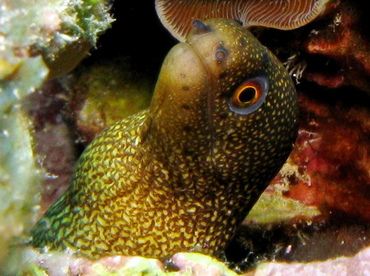 Goldentail Moray Eel - Gymnothorax miliaris - Belize