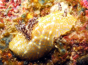 Gold-Lace Nudibranch - Halgerda terramtuentis - Big Island, Hawaii
