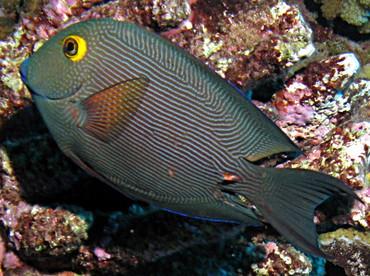 Goldring Surgeonfish - Ctenochaetus strigosus - Lanai, Hawaii