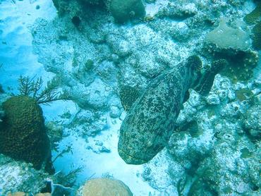 Goliath Grouper - Epinephelus itajara - Little Cayman