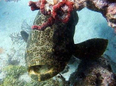 Goliath Grouper - Epinephelus itajara - Key West, Florida