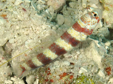 Gorgeous Shrimpgoby - Amblyeleotris wheeleri - Wakatobi, Indonesia