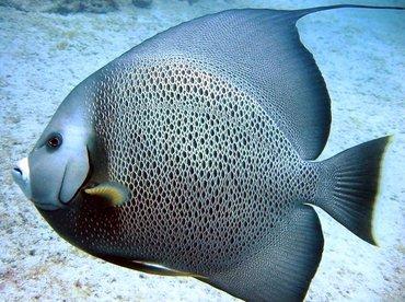 Gray Angelfish - Pomacanthus arcuatus - Cat Cays, Bahamas