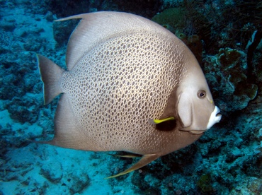 Gray Angelfish - Pomacanthus arcuatus - Grand Cayman