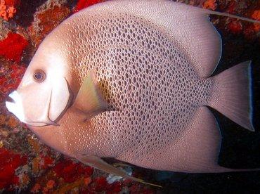 Gray Angelfish - Pomacanthus arcuatus - Aruba