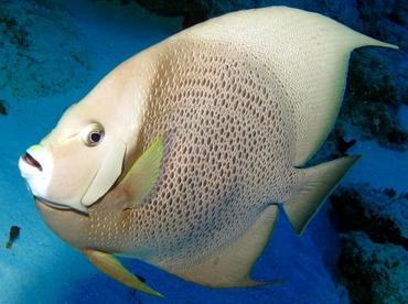 Gray Angelfish - Pomacanthus arcuatus - Cozumel, Mexico