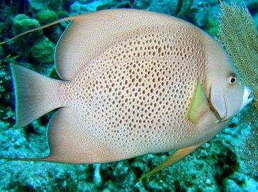 Gray Angelfish - Pomacanthus arcuatus - Nassau, Bahamas
