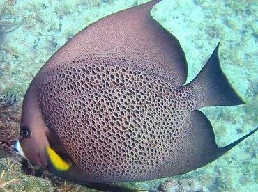 Gray Angelfish - Pomacanthus arcuatus - Bimini, Bahamas