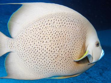 Gray Angelfish - Pomacanthus arcuatus - Isla Mujeres, Mexico