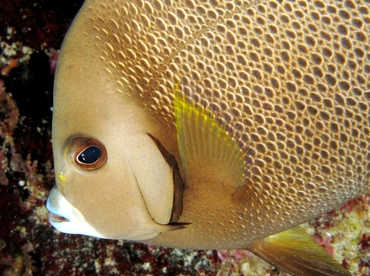 Gray Angelfish - Pomacanthus arcuatus - Belize