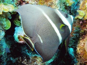 Gray Angelfish - Pomacanthus arcuatus - St Thomas, USVI