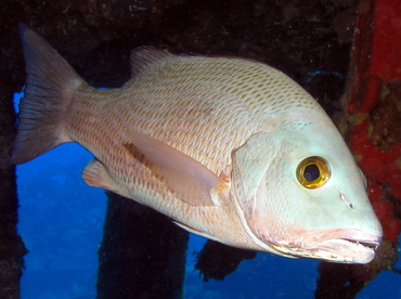 Gray Snapper - Lutjanus griseus - Grand Cayman