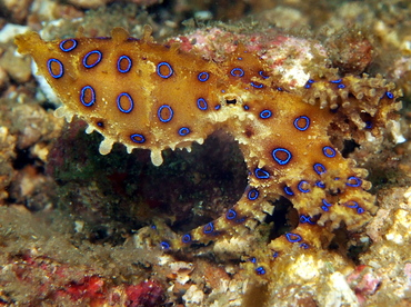 Greater Blue-Ringed Octopus - Hapalochlaena lunulata - Lembeh Strait, Indonesia