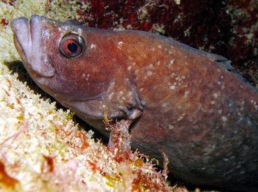 Greater Soapfish - Rypticus saponaceus - Grand Cayman