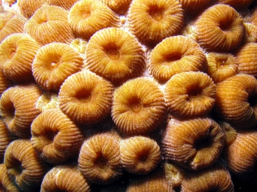 Great Star Coral - Montastraea cavernosa - Belize