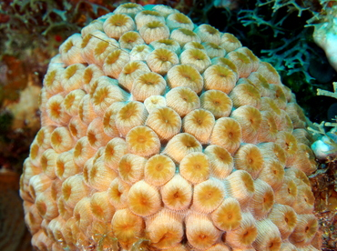 Great Star Coral - Montastraea cavernosa - Cozumel, Mexico